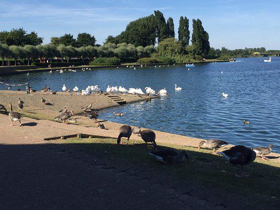 swans nesting